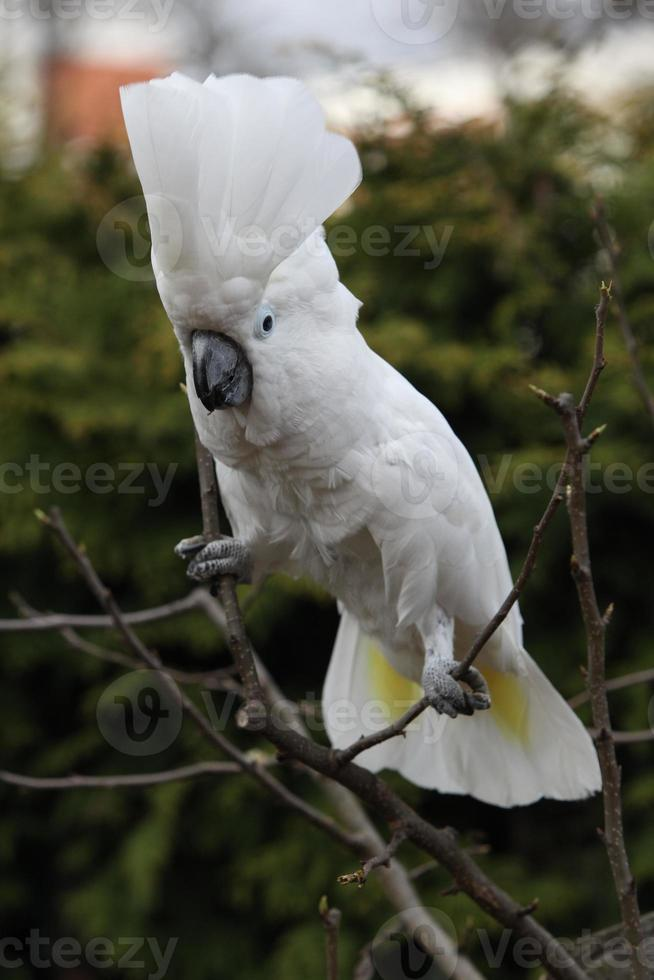 Sulphur-crested Cockatoo Parrot dancing on some tree photo