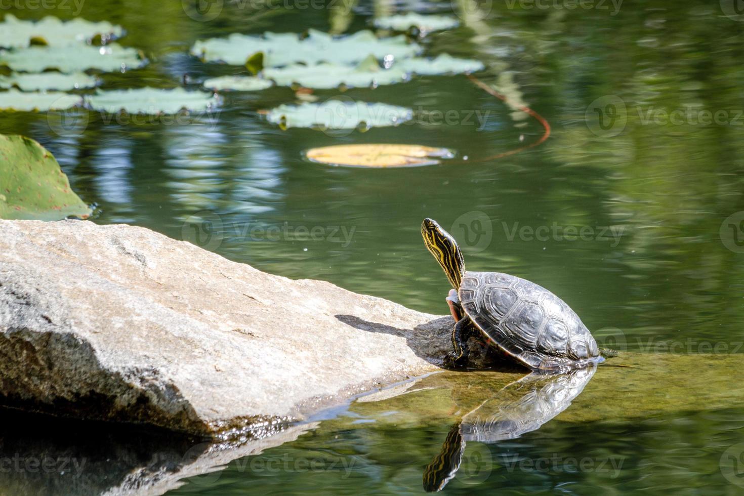 tortuga pintada occidental en estanque foto