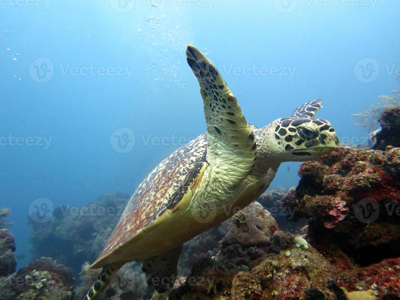 tortuga carey actual en la isla de arrecife de coral, bali. foto