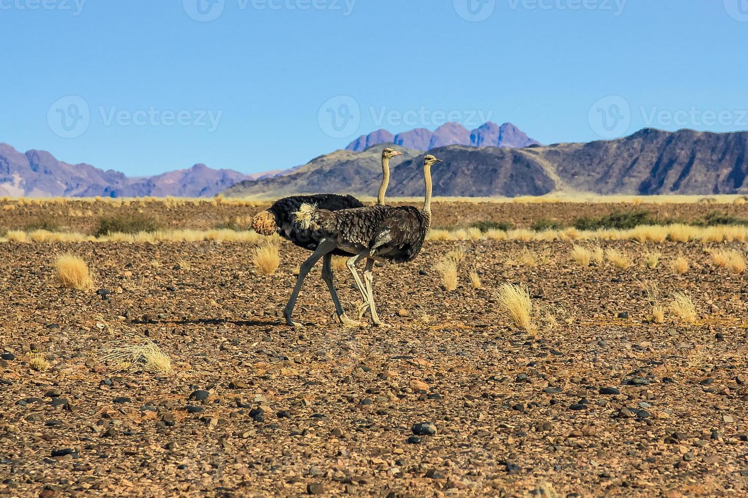 avestruces foto