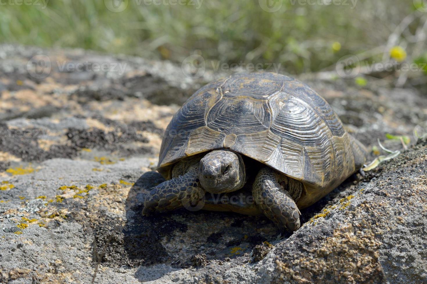 tortuga griega / testudo graeca ibera foto