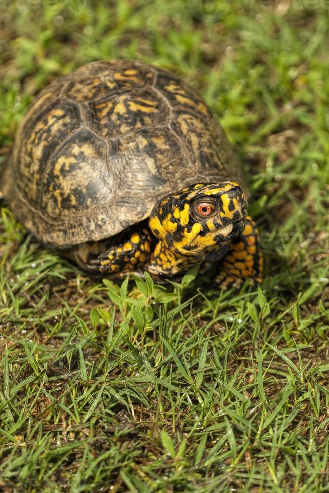 tortuga de caja macho de alabama - terrapene carolina foto