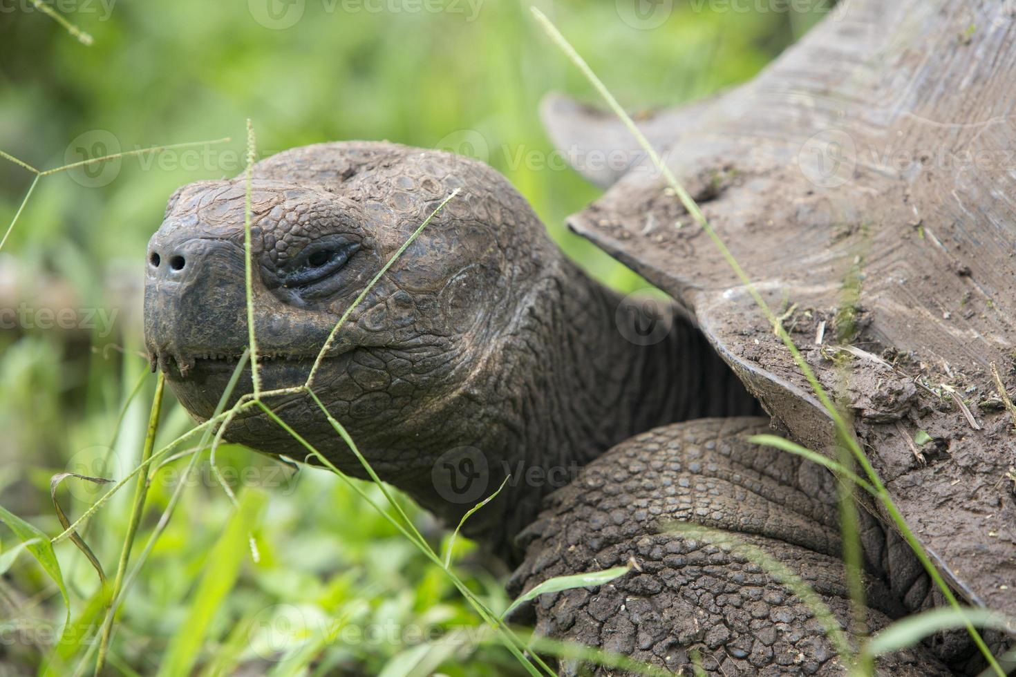 tortuga gigante de tierra de galápagos foto