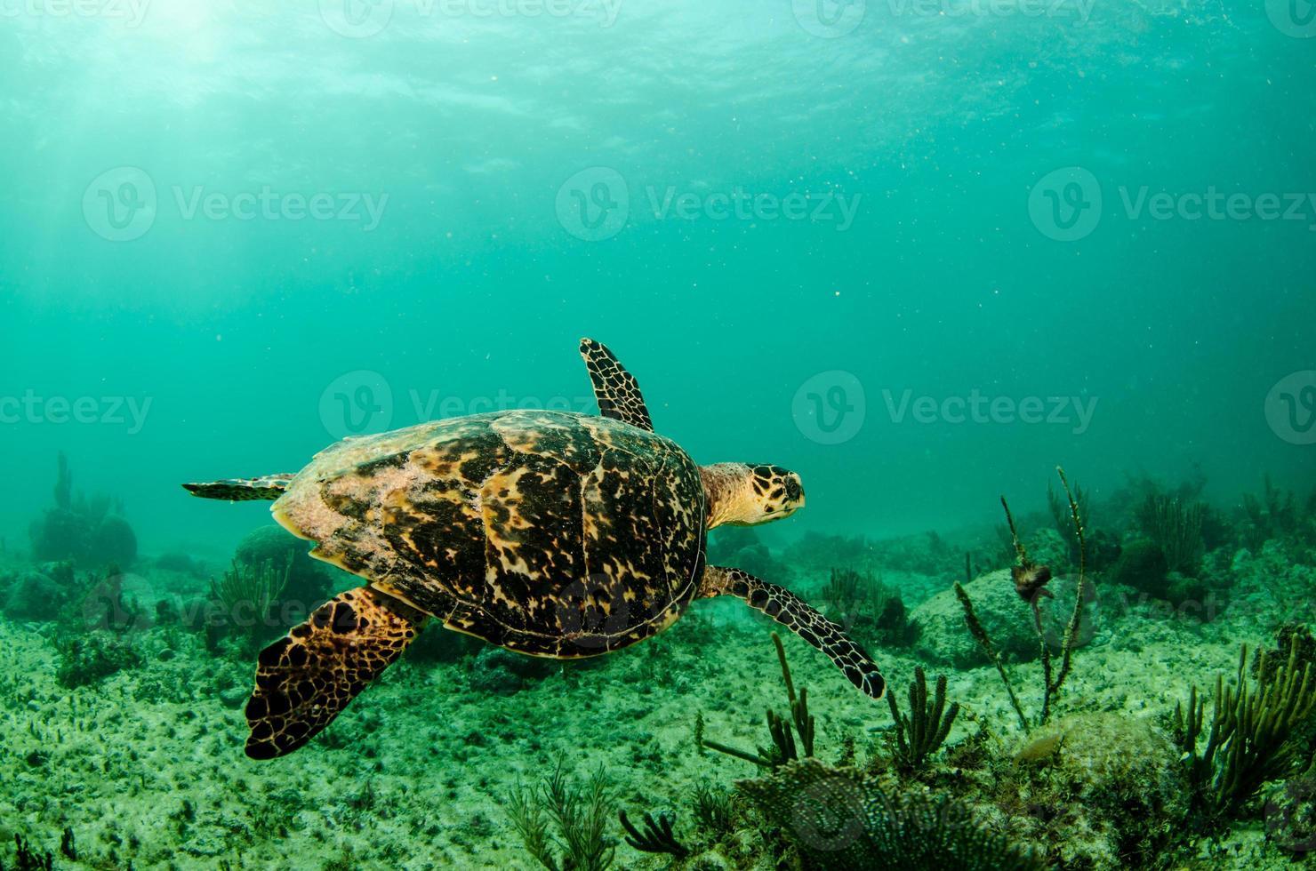 Caribbean sea turtle photo