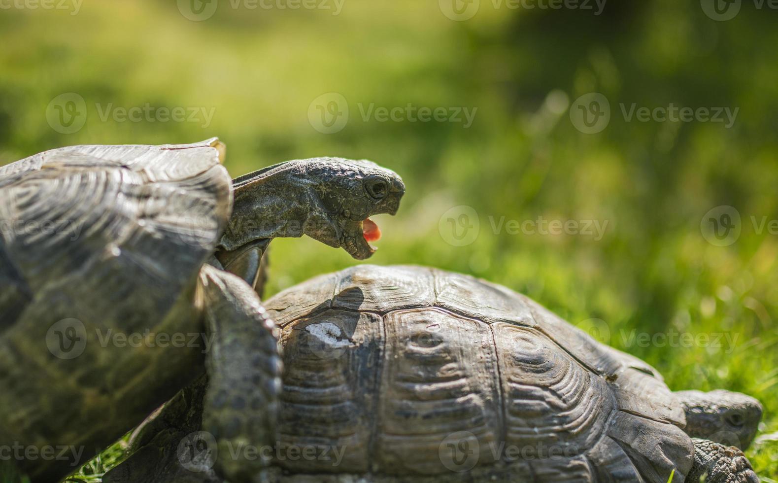 pequeña tortuga linda en el verde garss foto