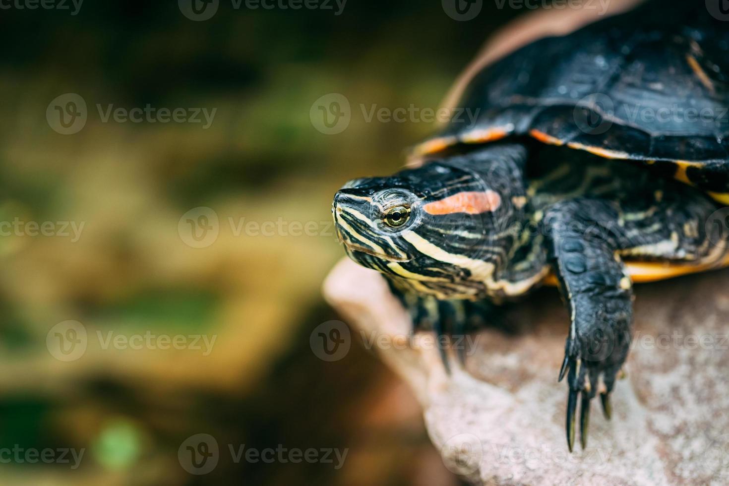 pequeña tortuga de oreja roja, tortuga acuática foto