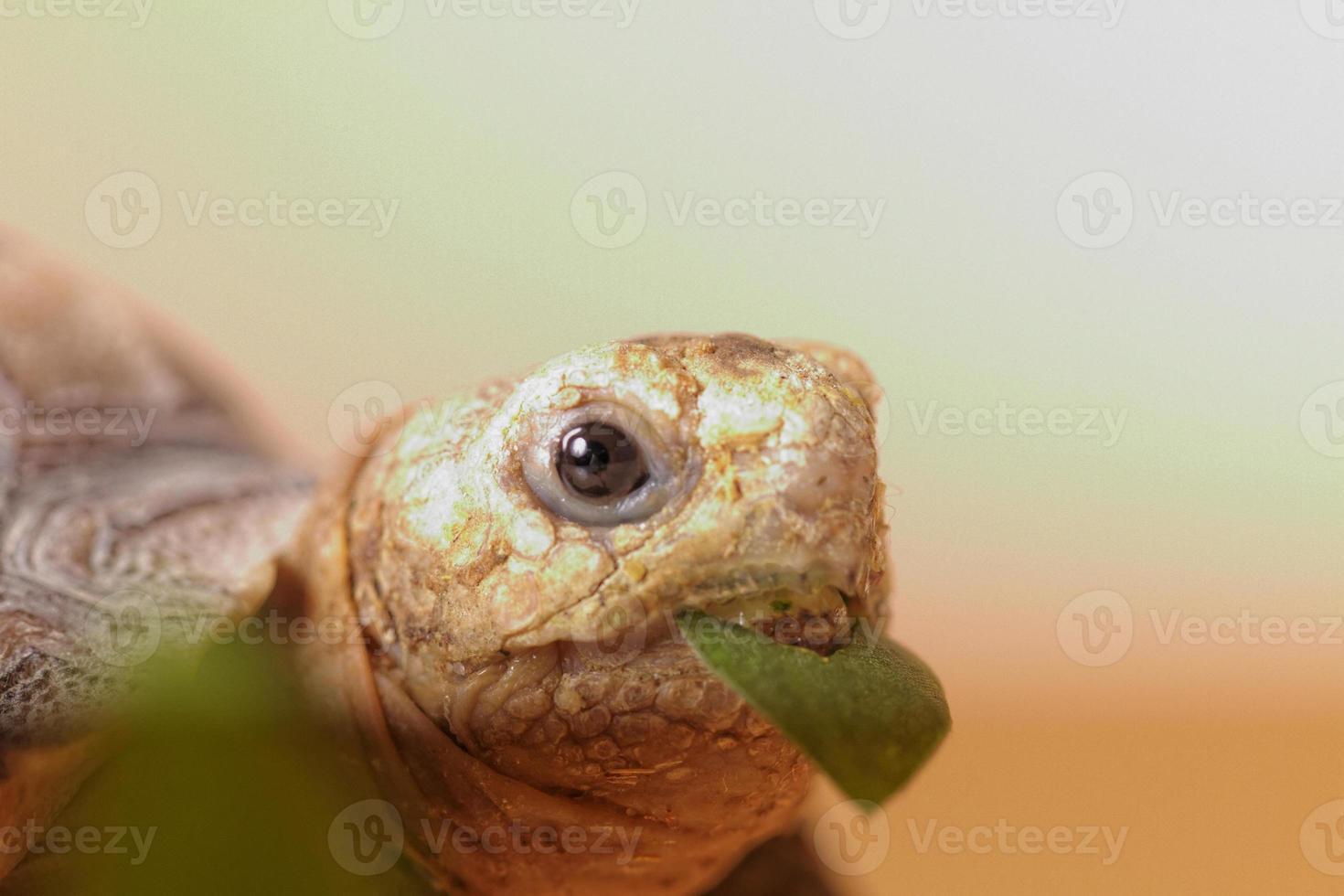 tortuga estimulada africana foto
