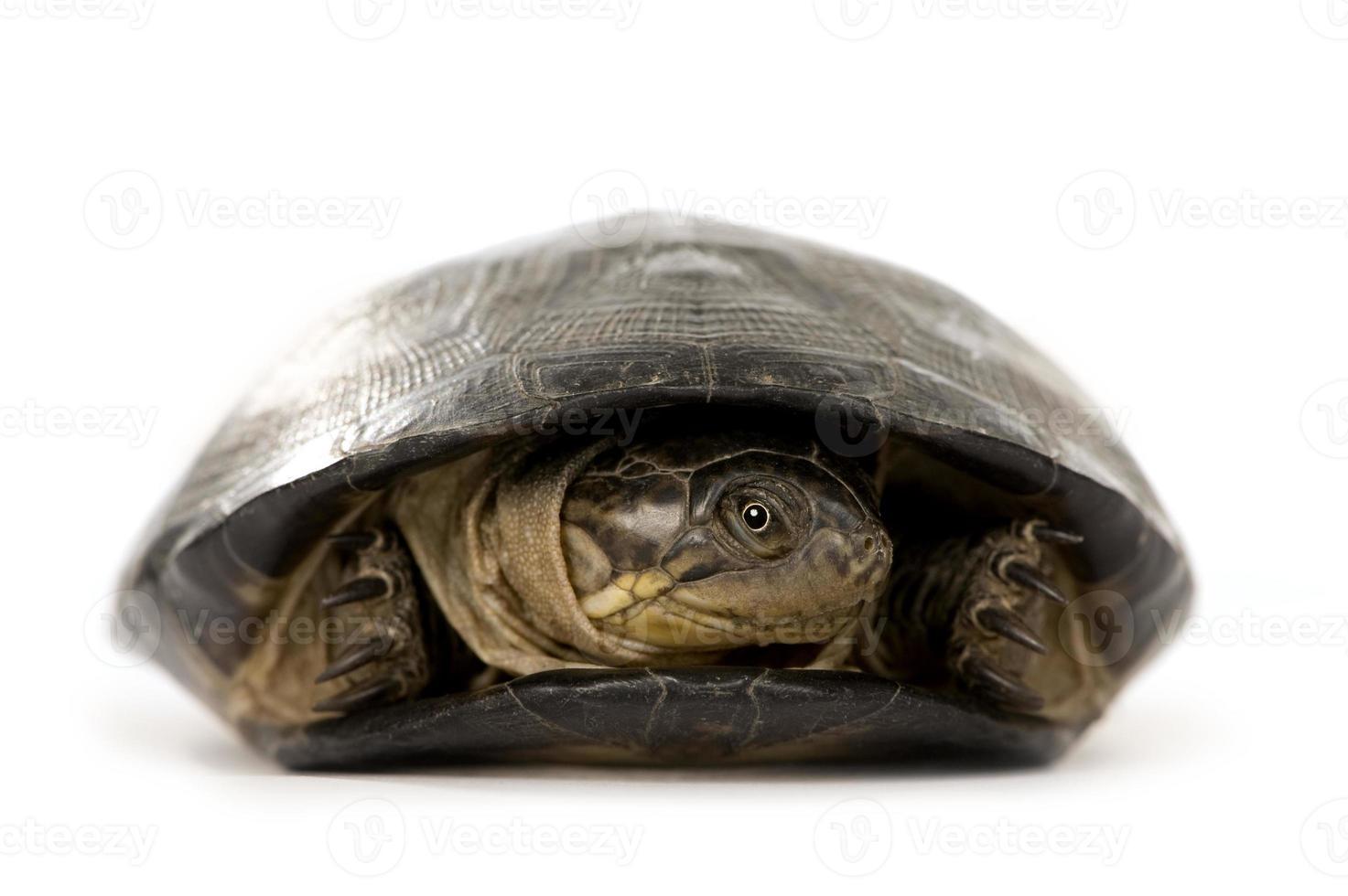tortuga - pélusios subniger foto