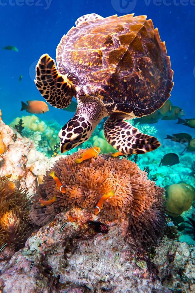 Hawksbill Turtle - Eretmochelys imbricata photo