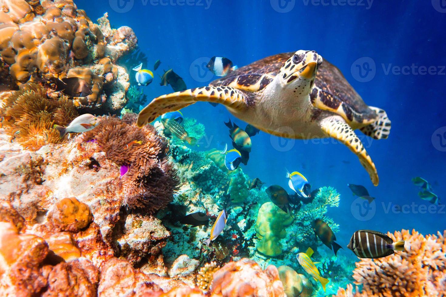 tortuga carey - eretmochelys imbricata foto