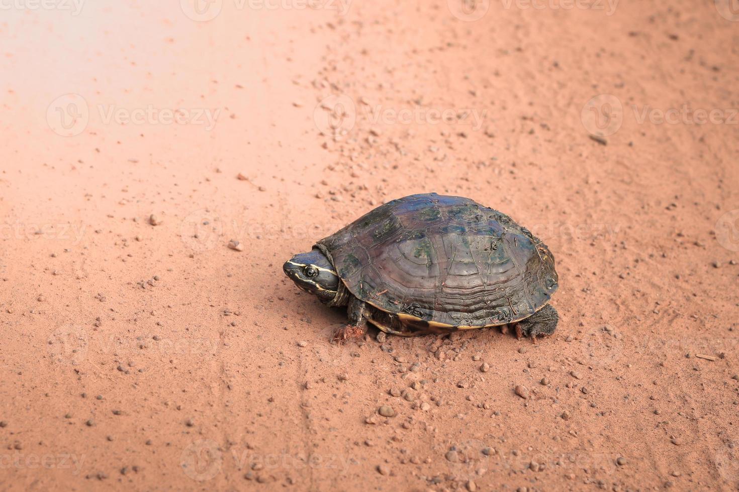 Turtle on ground. photo