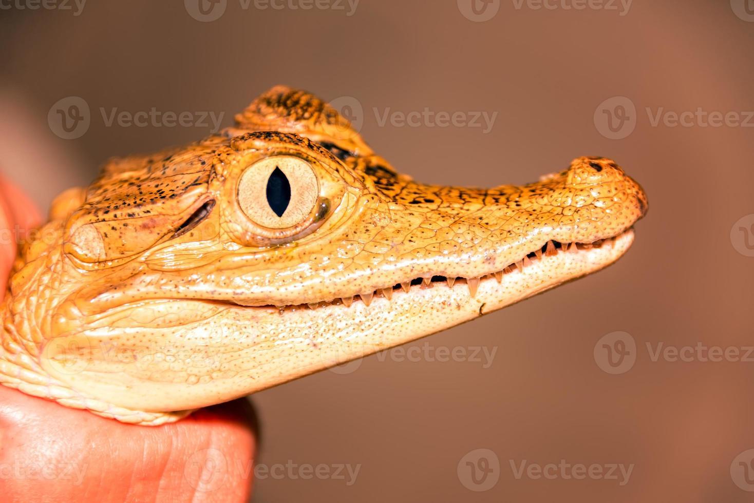 Primer plano de cara de caimán foto