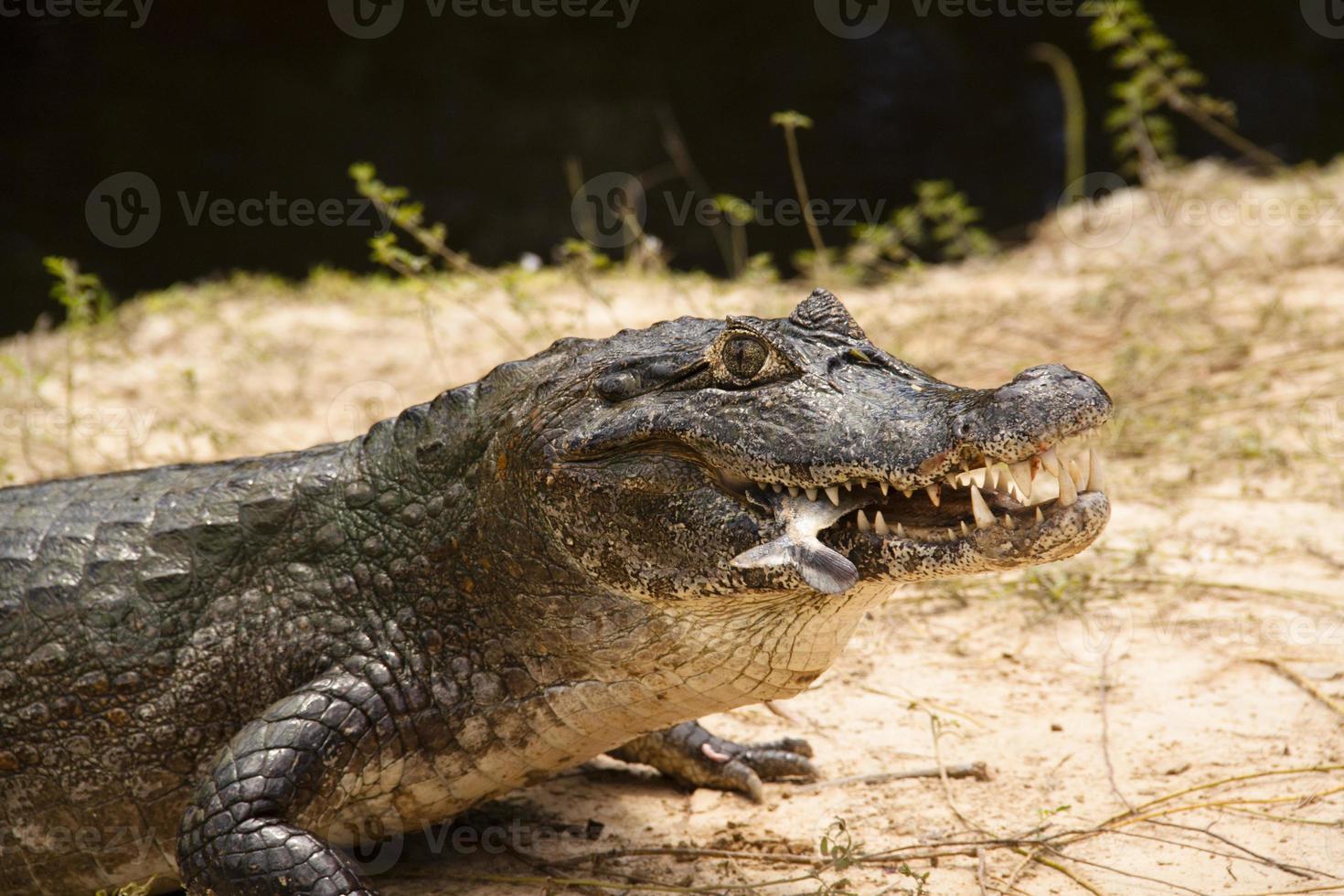 cocodrilo con pescado foto