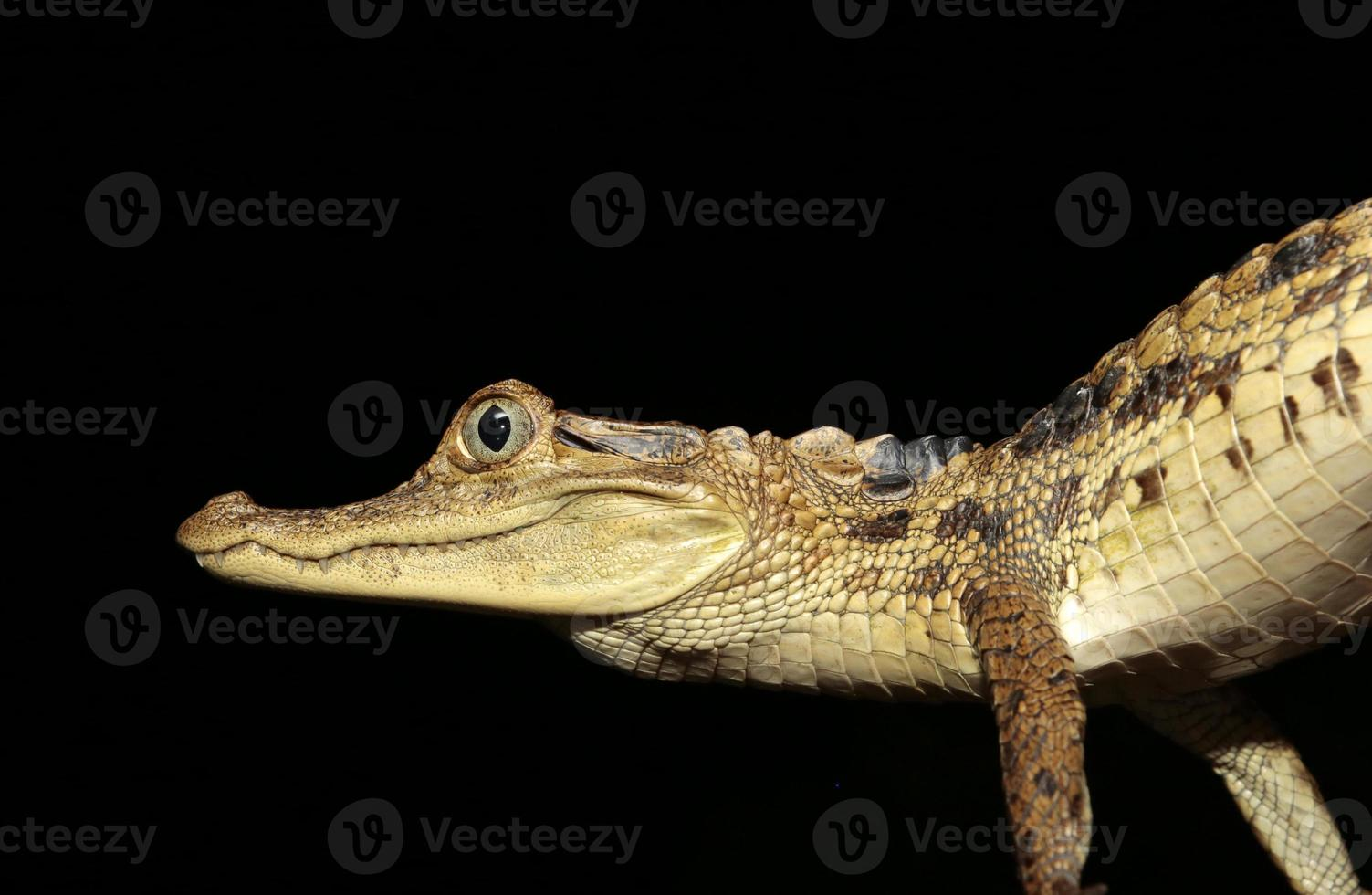 Young spectacled caiman, French Guiana photo