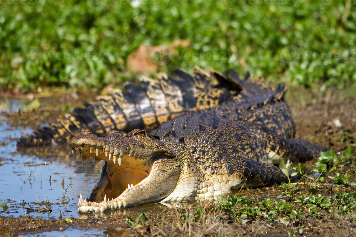 cocodrilo australiano de agua salada foto