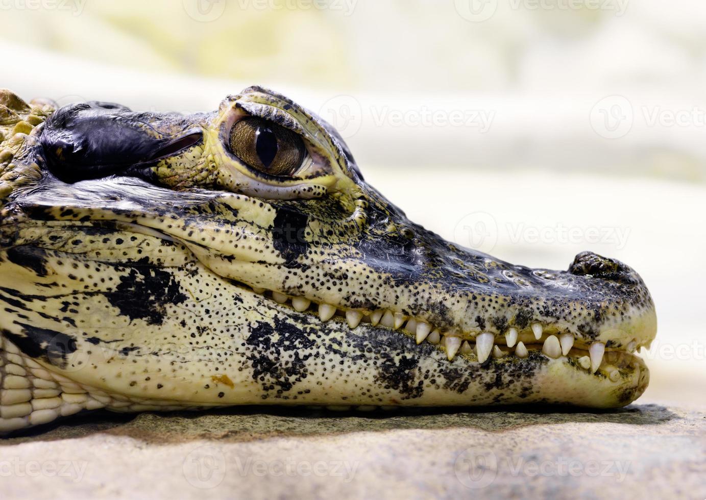 joven caimán negro (melanosuchus niger) foto