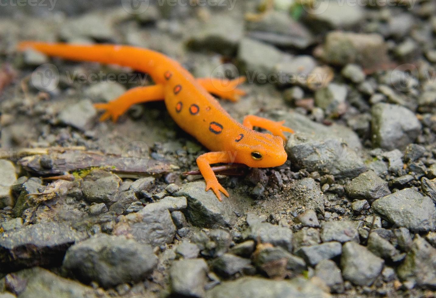 Macro Red-Spotted Newt resting on rocky pebble surface photo