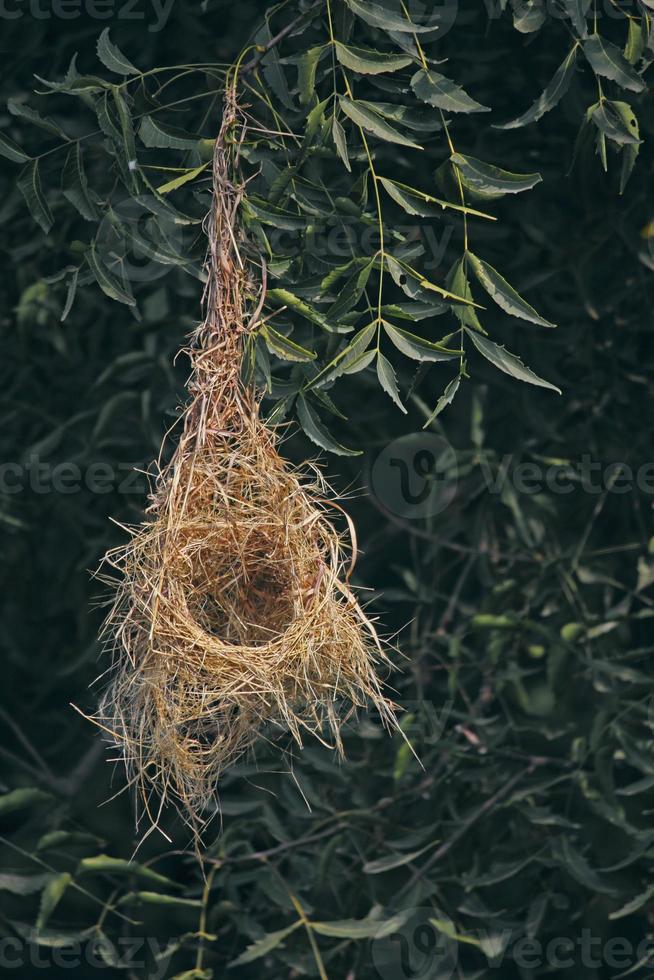 Pájaro tejedor de baya, nido de ploceus philippinus, india foto