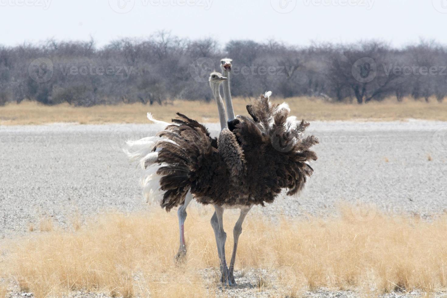 Dos avestruces. foto
