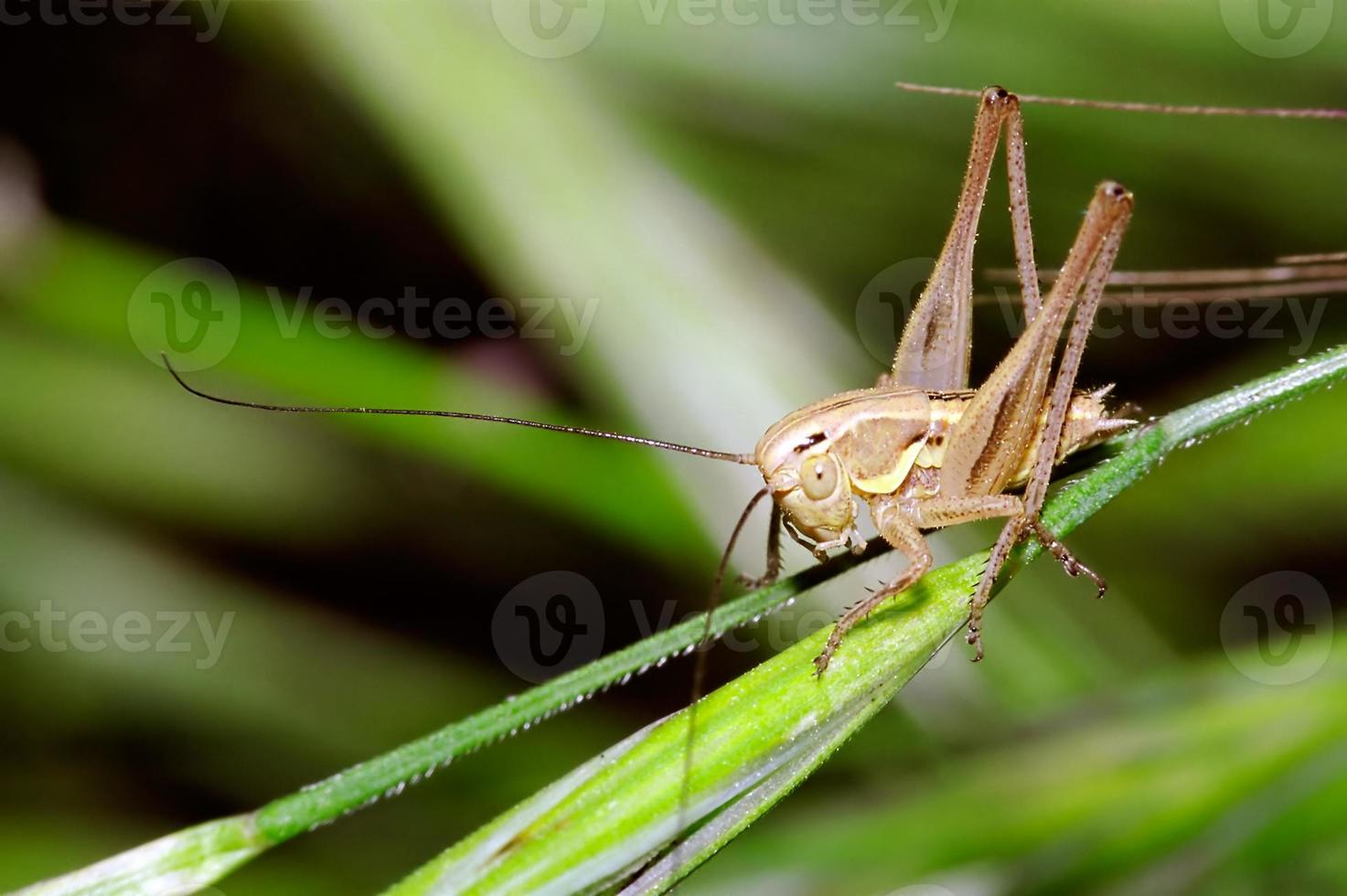 cricket joven del arbusto foto