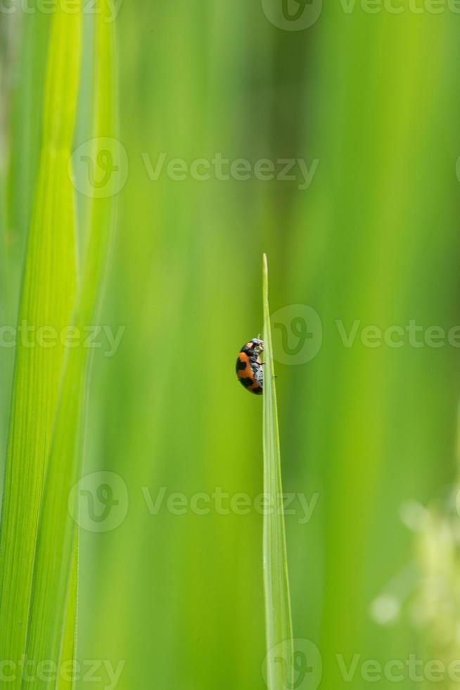 mariquita en planta de cereales foto