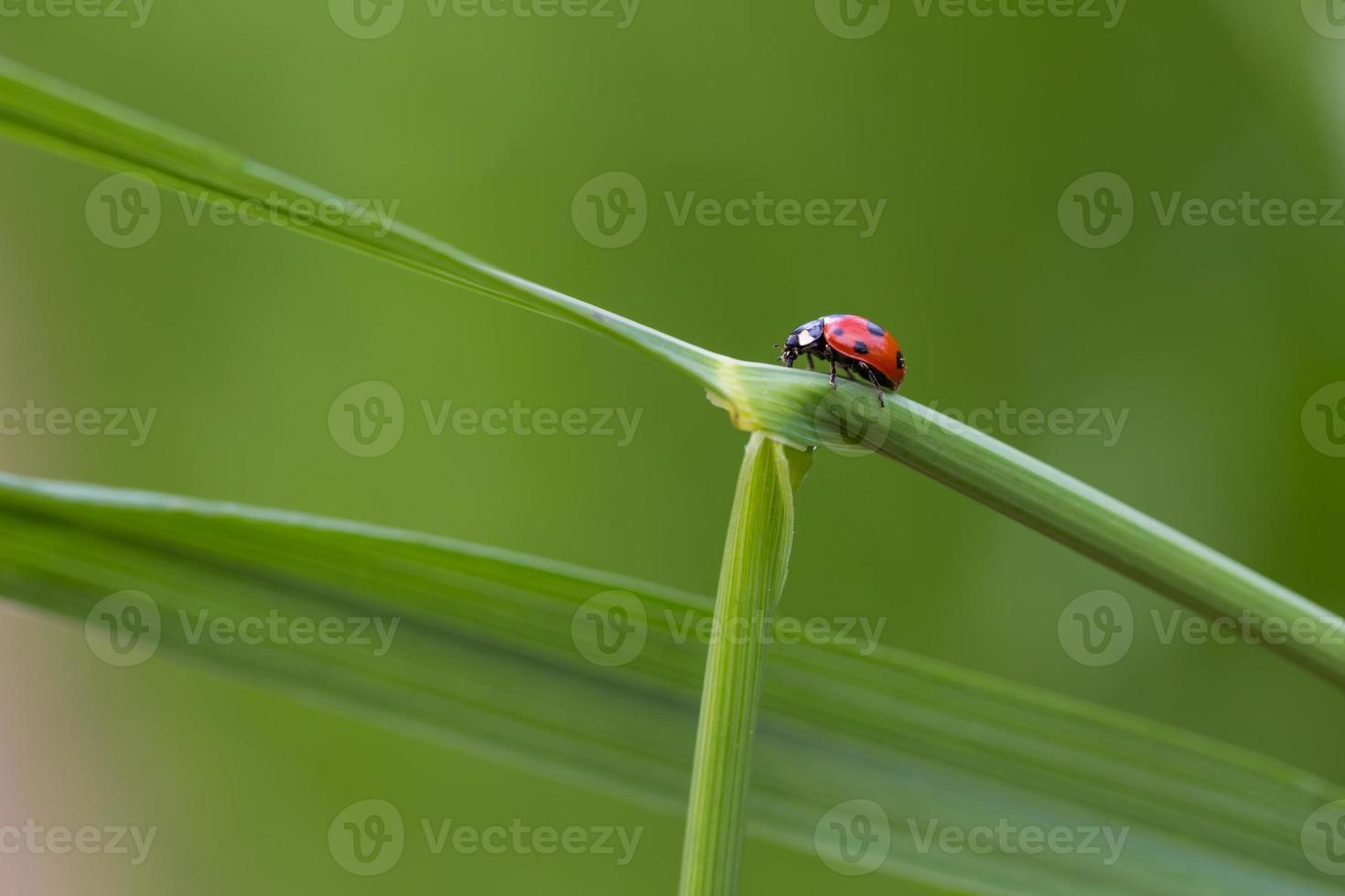 mariquita en la hoja de hierba foto
