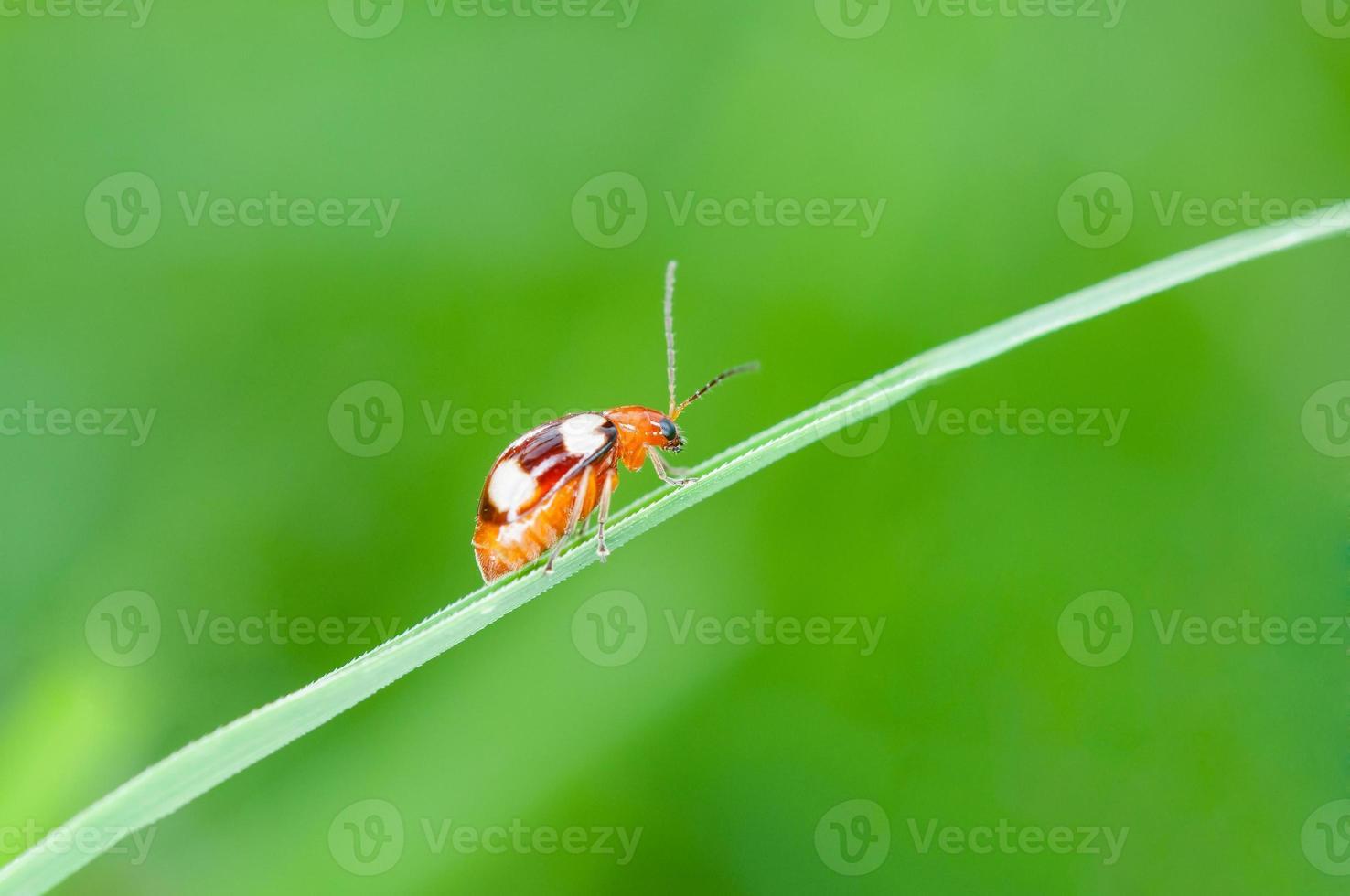 Mariquita corriendo sobre la brizna de hierba verde. Hermosa naturaleza foto