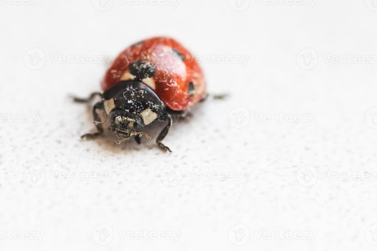 Lady Bug después de la hibernación en primavera foto