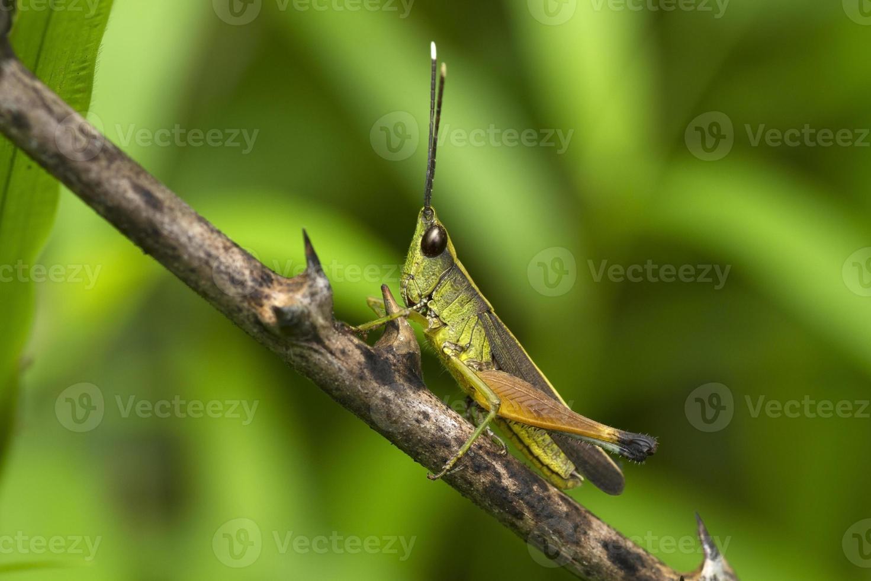 Grasshopper on leaf photo