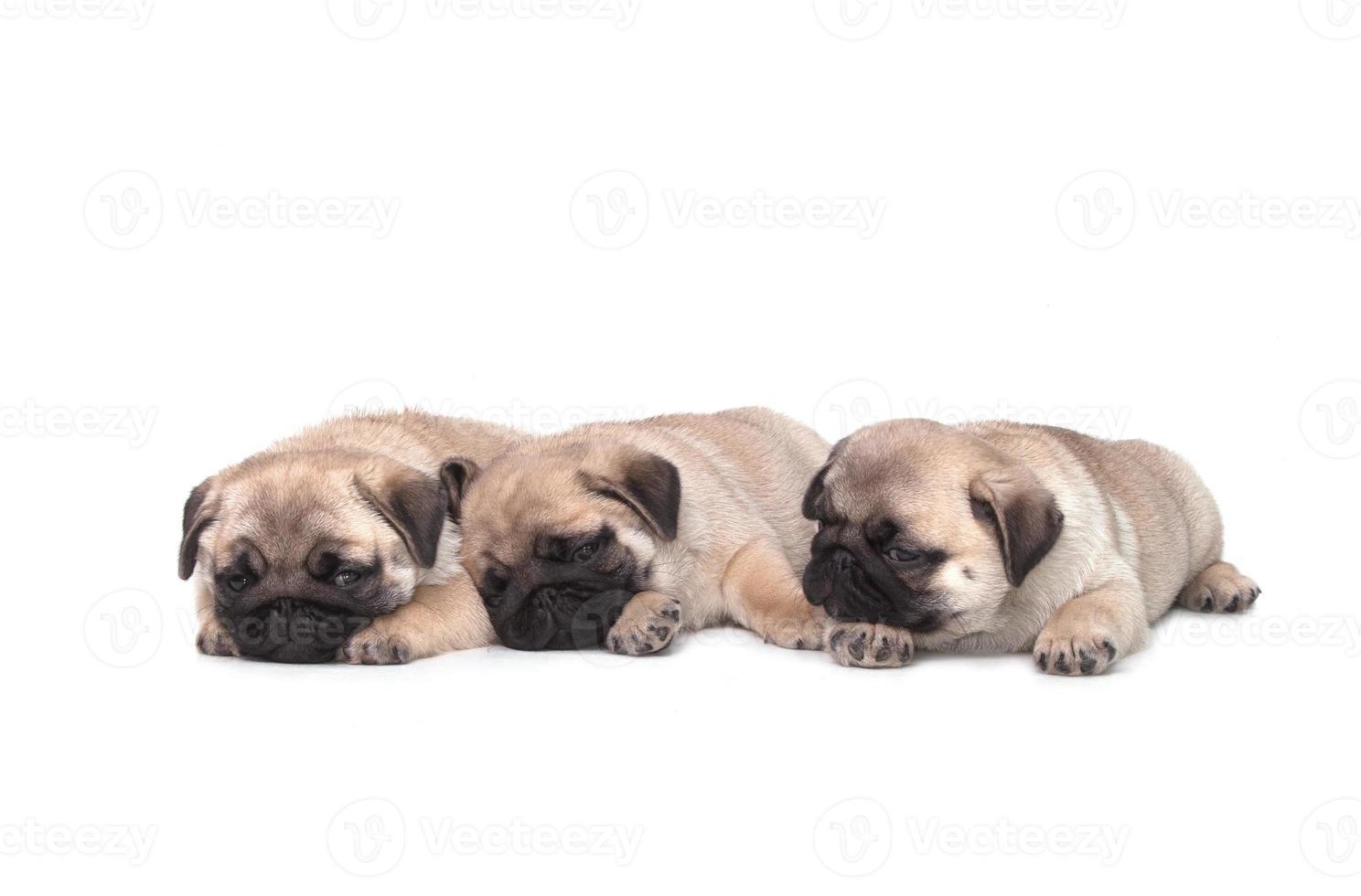 cachorro de tres pug sobre fondo blanco foto