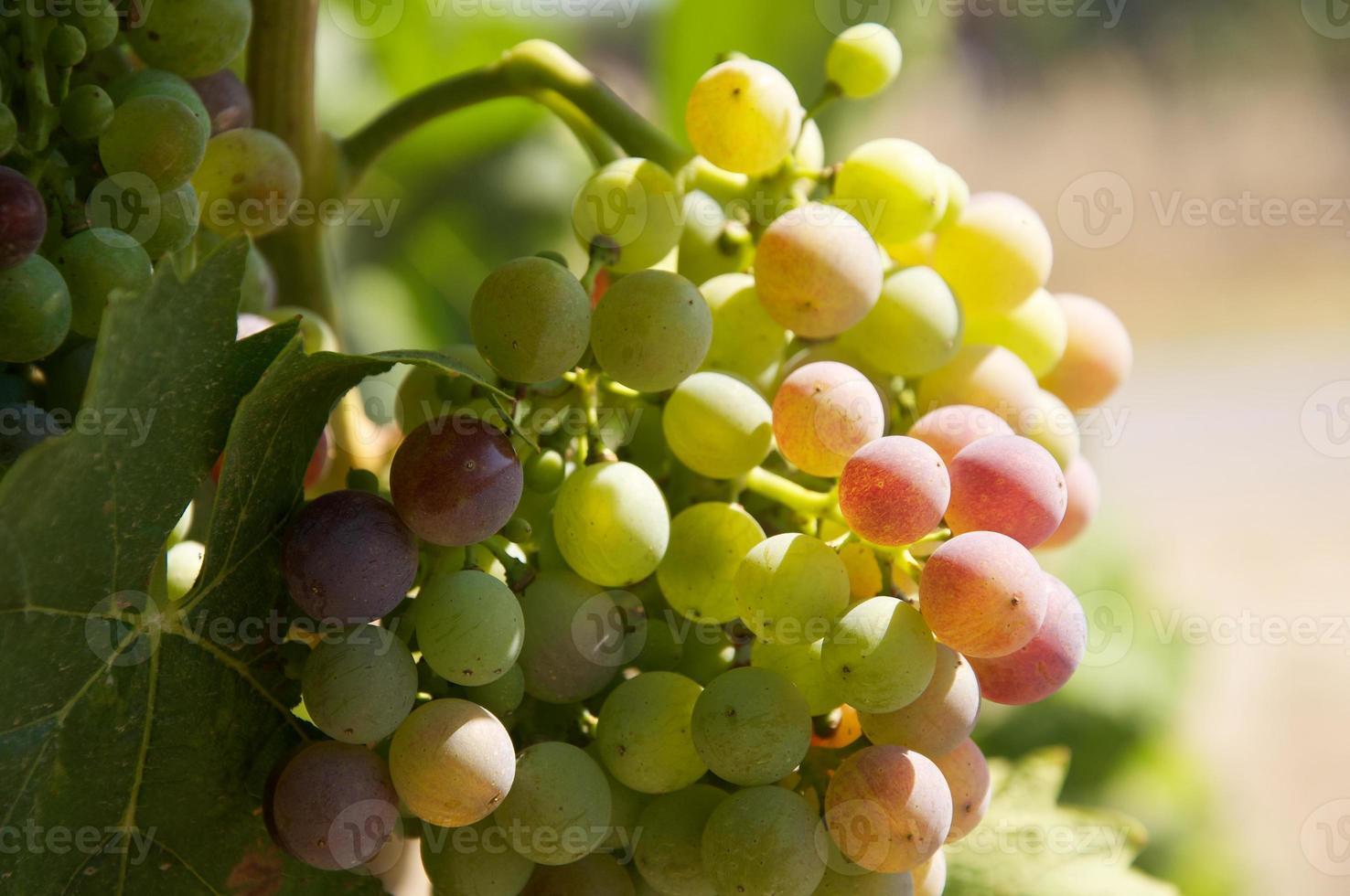 sunny grape photo