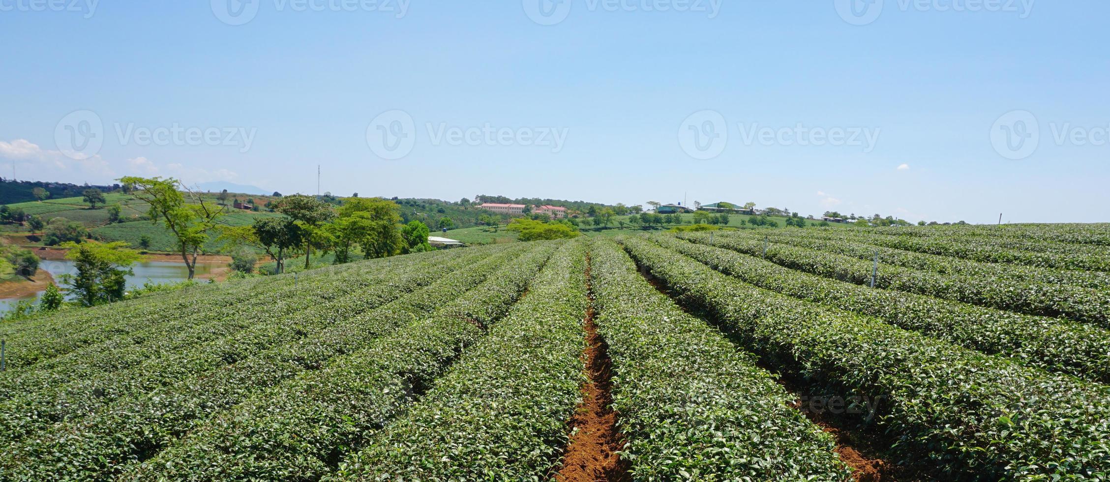 granja de té en bao loc highland foto