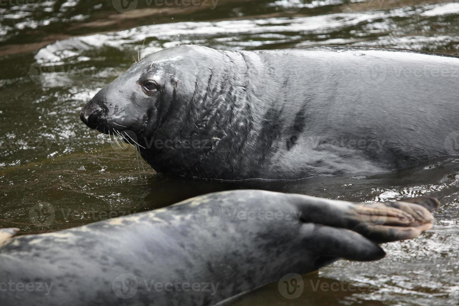 foca gris (halichoerus grypus). foto