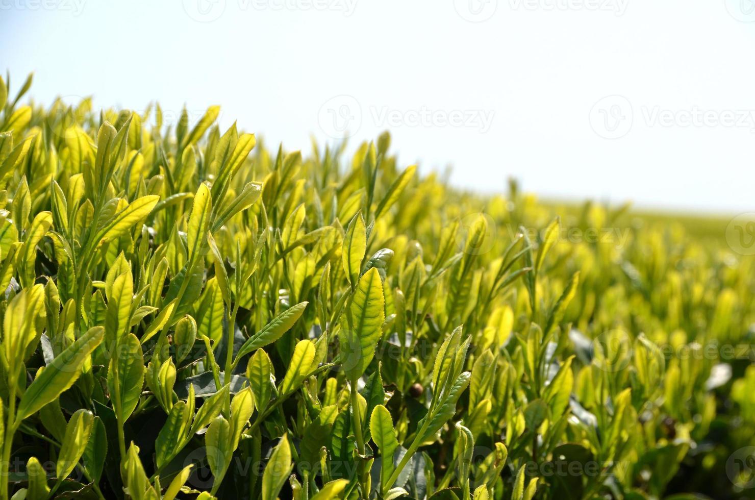 jardín de té verde foto