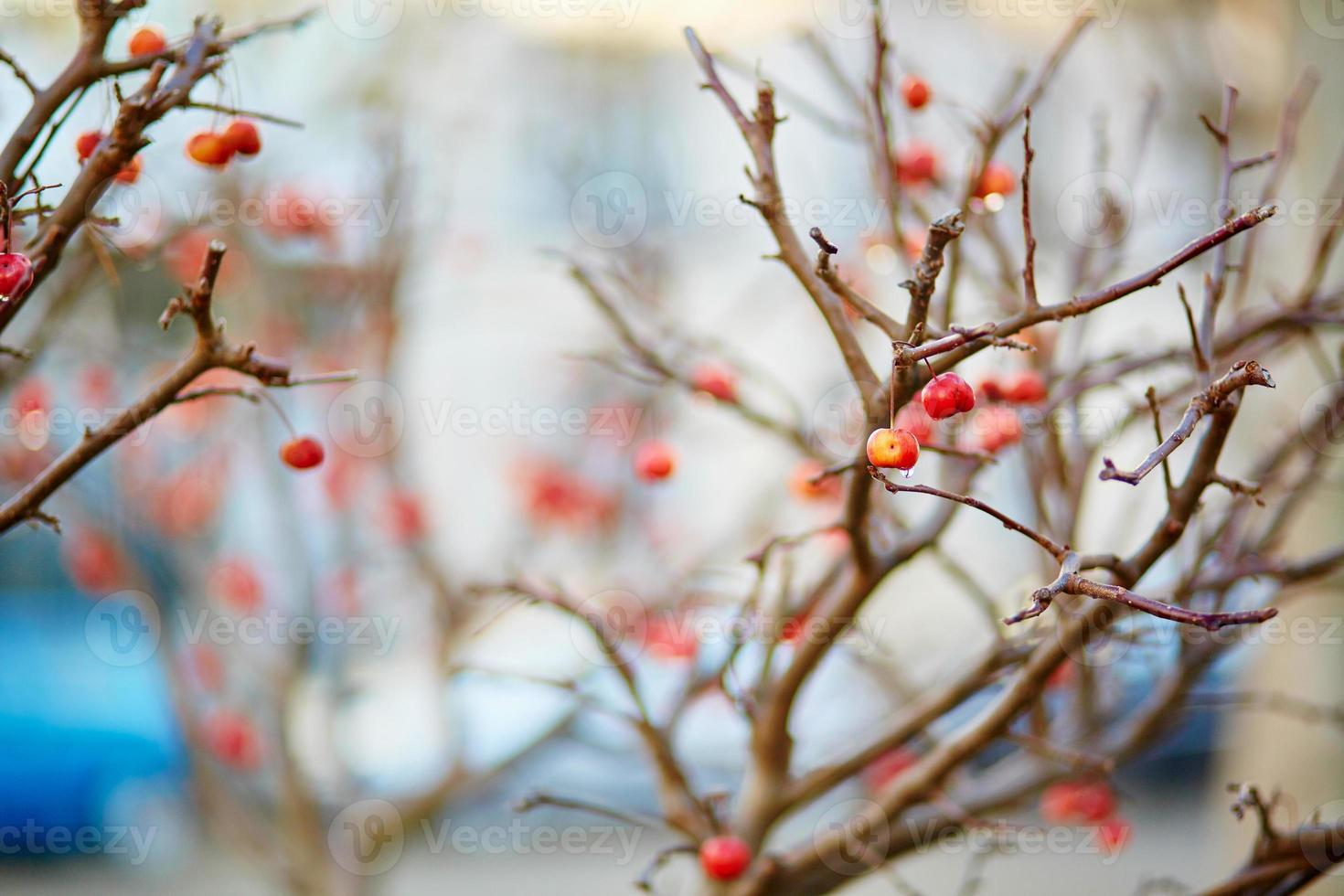 Red ripe crabapples on the tree photo