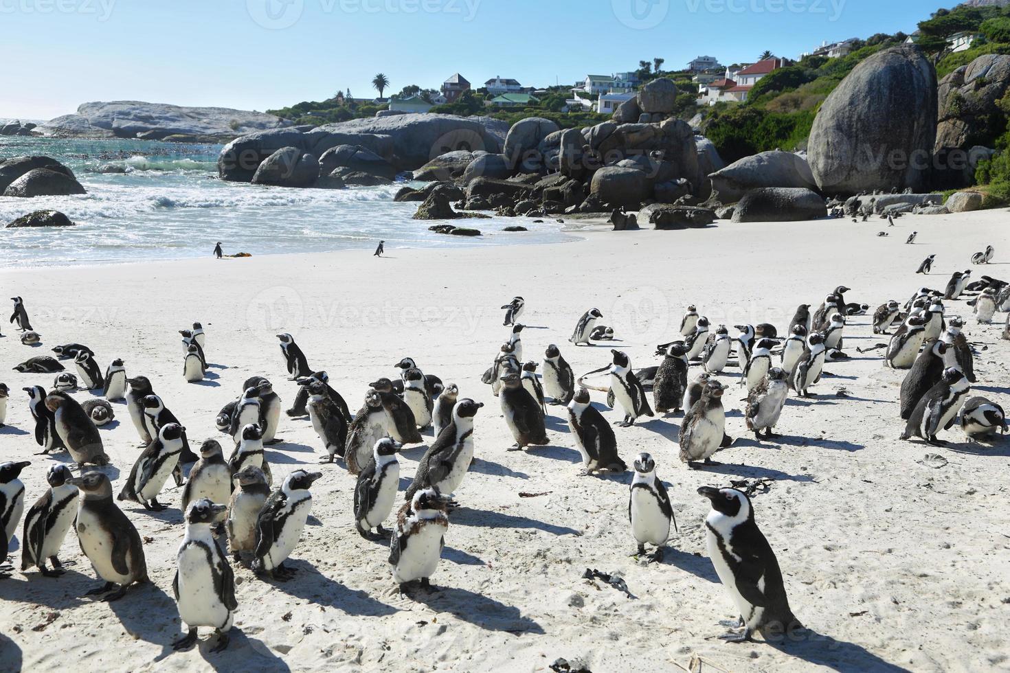 pingüinos africanos en la playa de cantos rodados foto