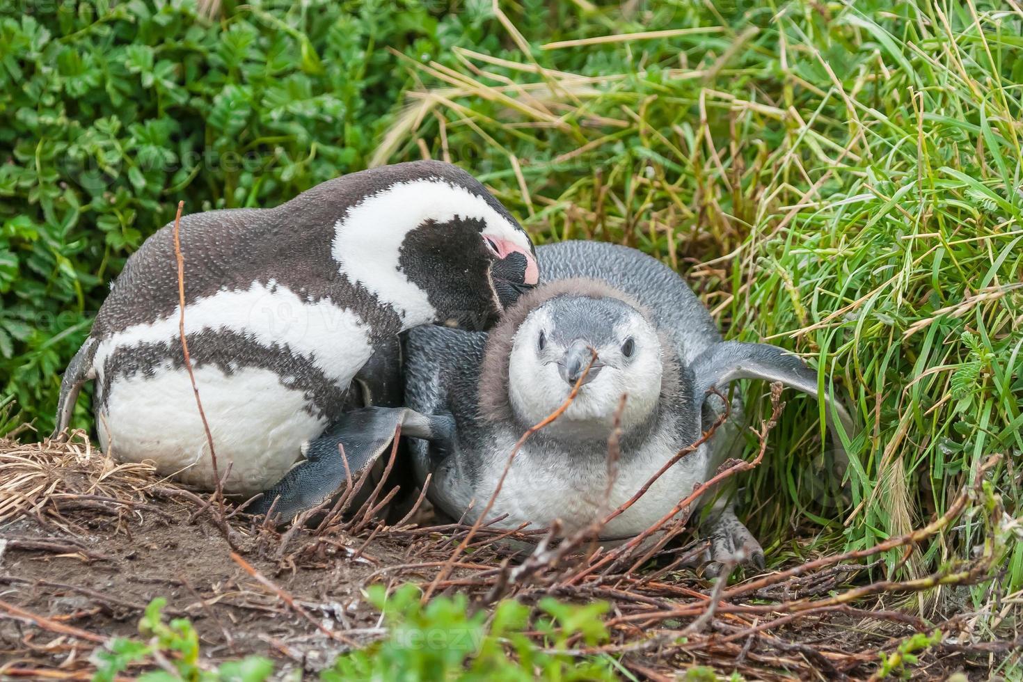 dos pingüinos tumbados foto