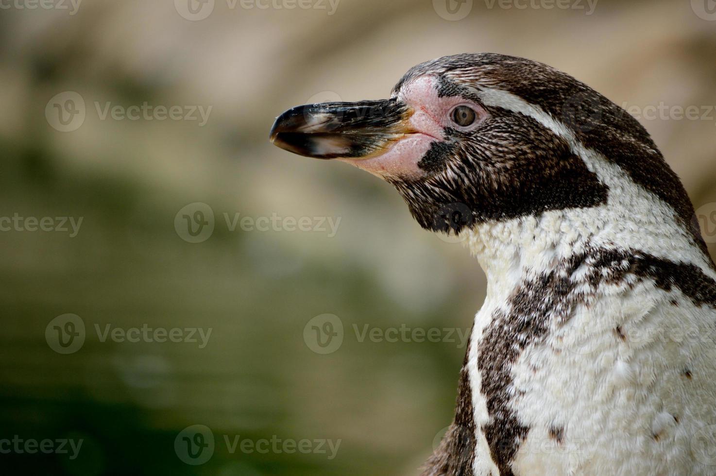Humboldt Penguin (Spheniscus Humboldti) photo