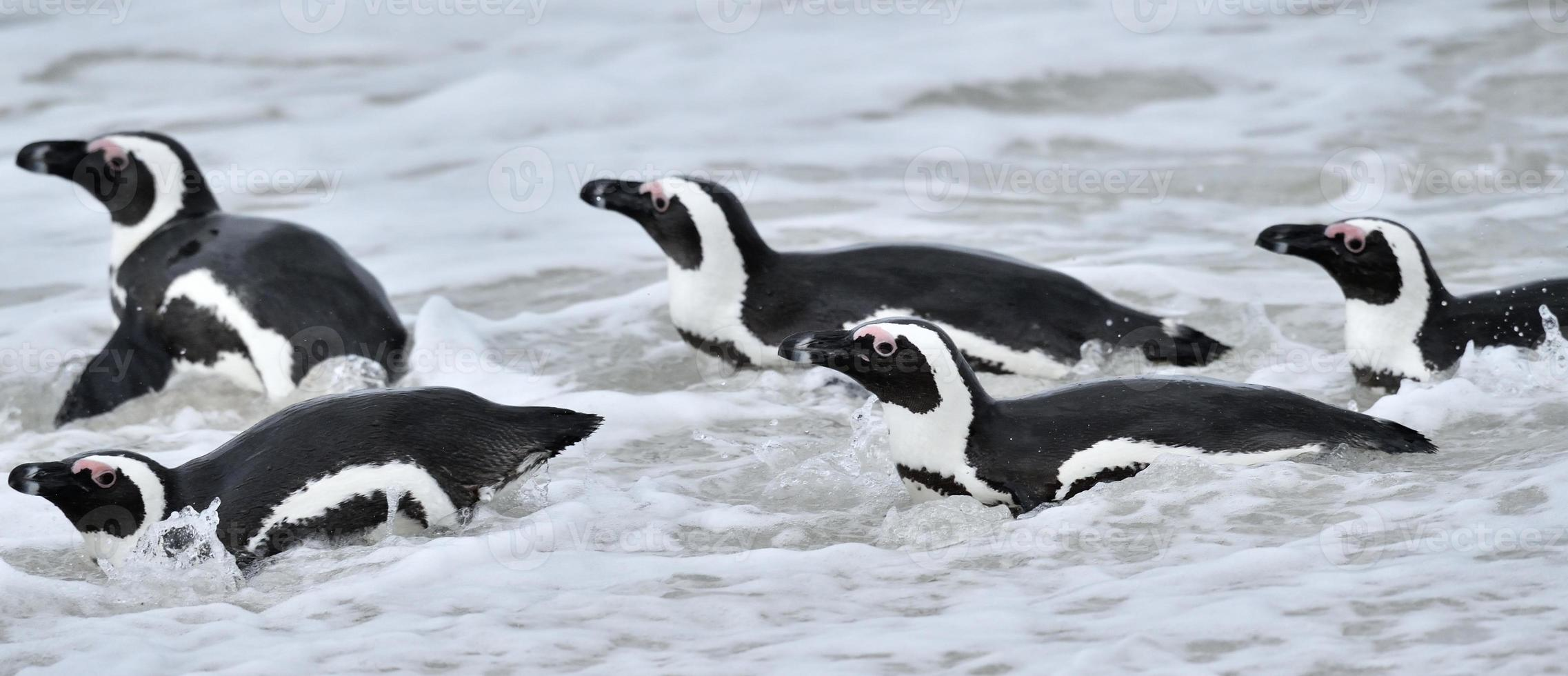 African penguins. photo