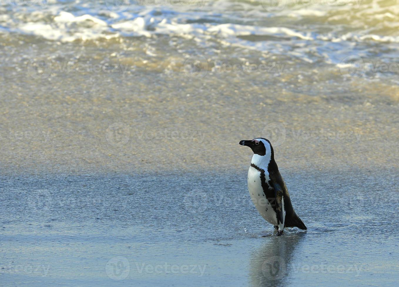 African penguin photo