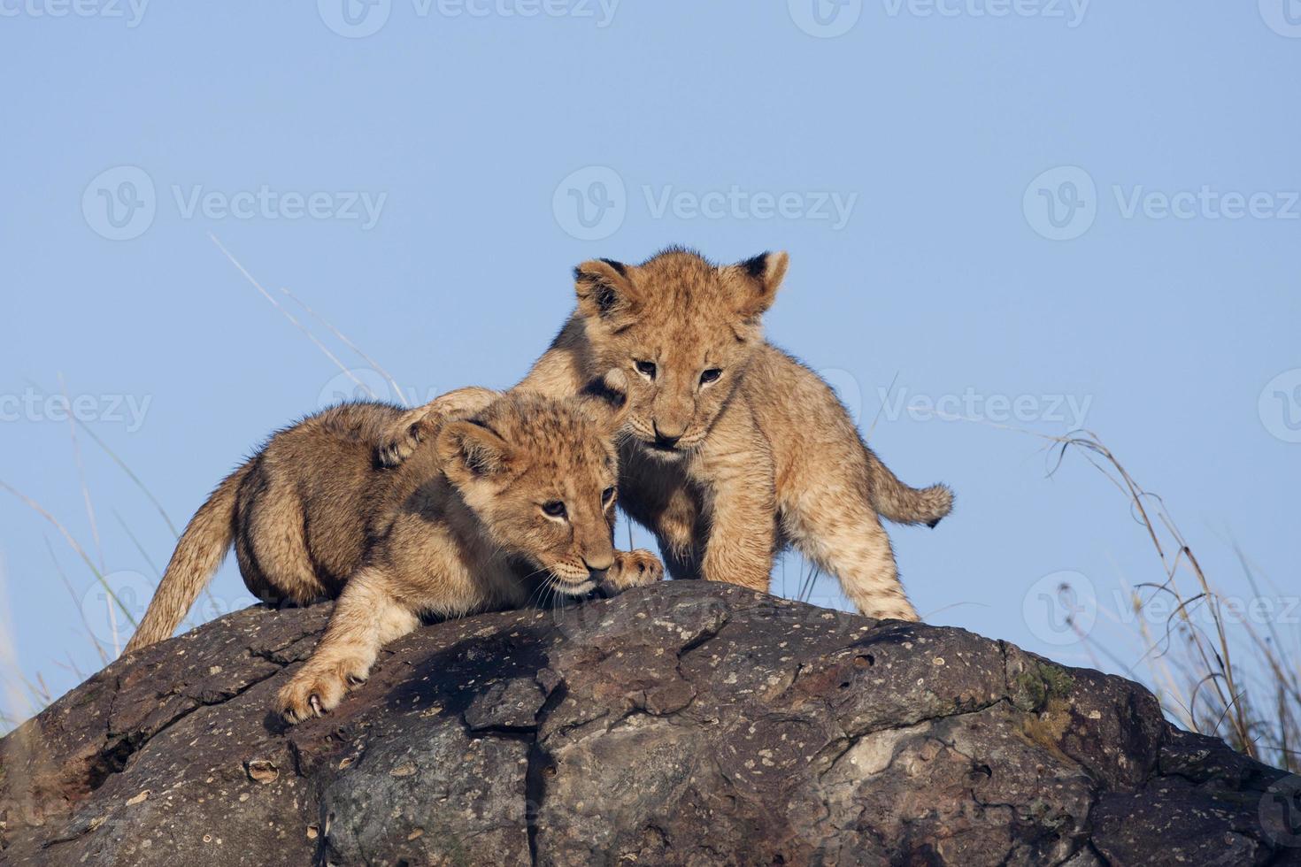 cachorros de león (panthera leo) jugando en las rocas foto
