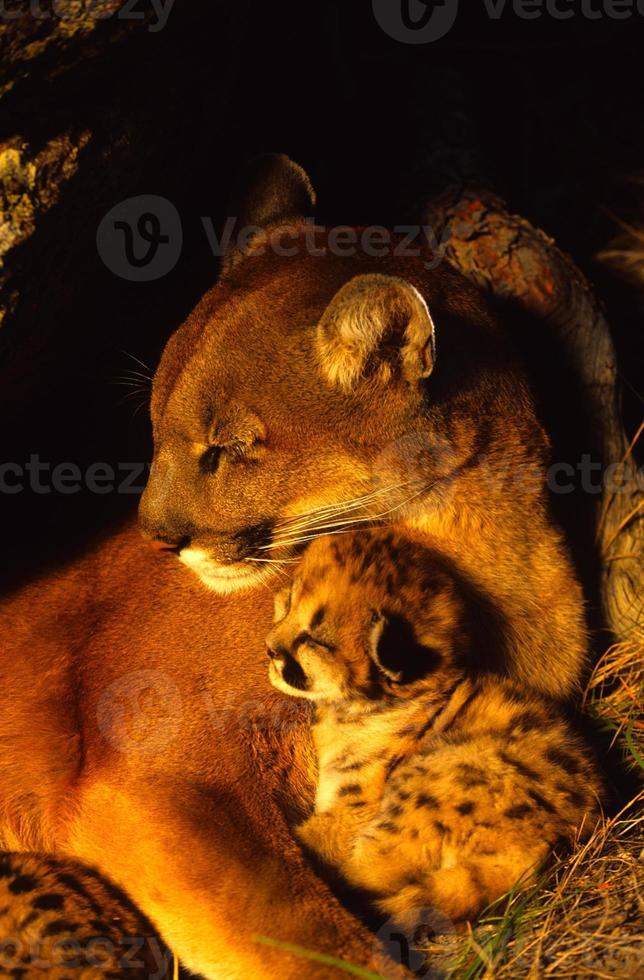 soñoliento león de montaña hembra y gatito foto
