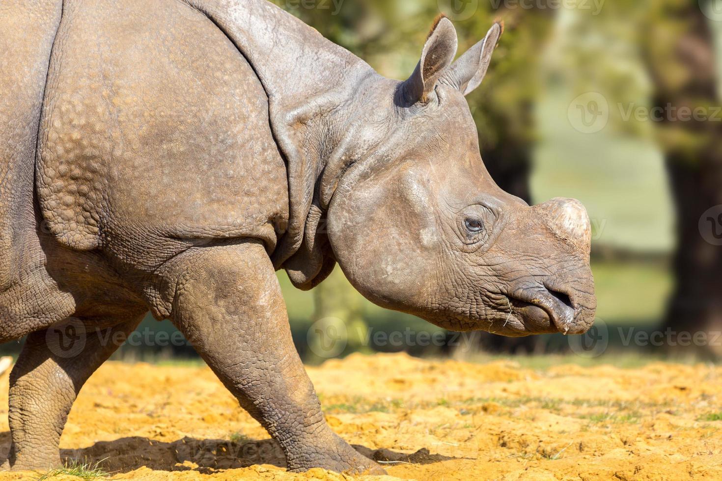 Rhinoceros: head shot. photo