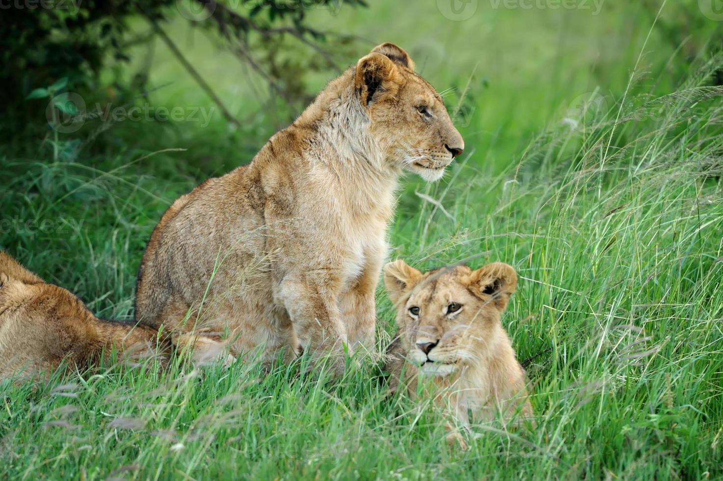 Lion in the grass of Masai Mara, Kenya photo