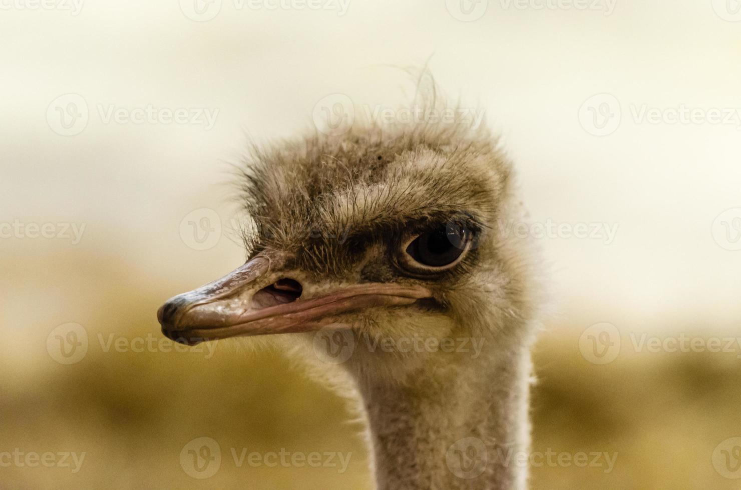 Retrato de cabeza de avestruz foto