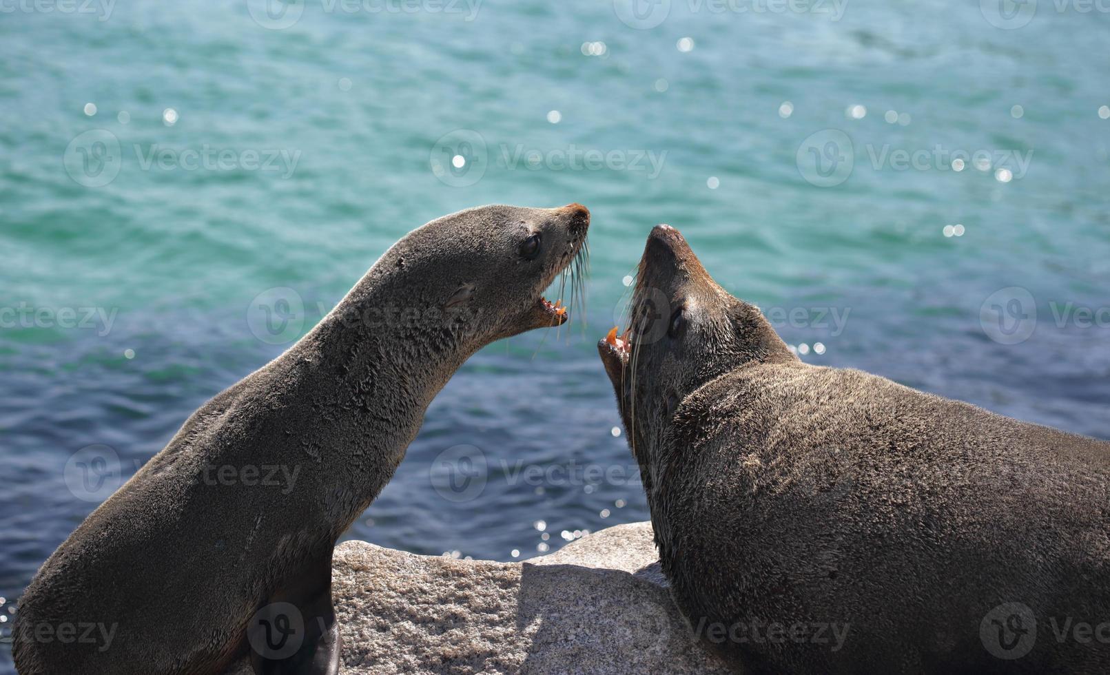 Fur Seals Interacting Arguing photo