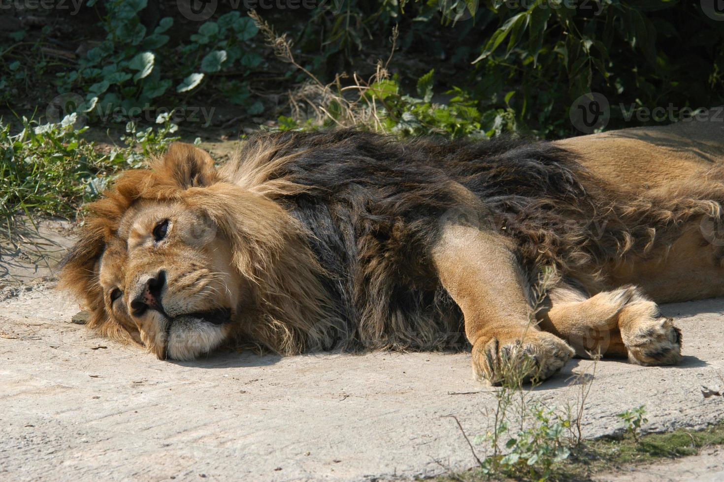 león asiático foto