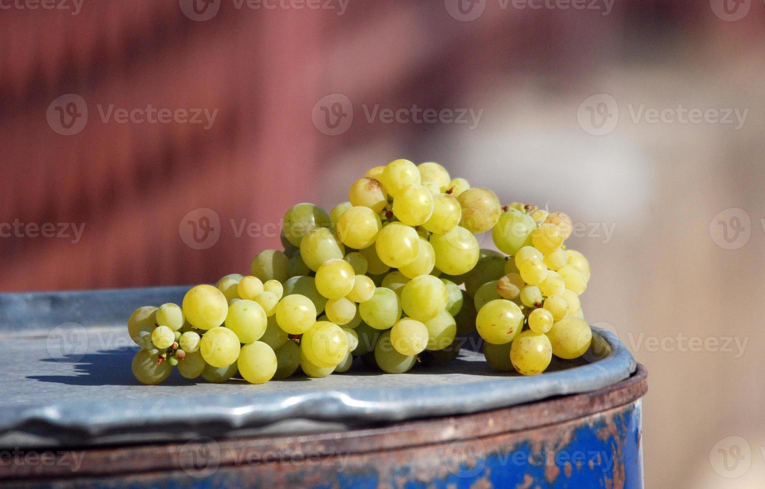uvas maduras listas para la cosecha foto