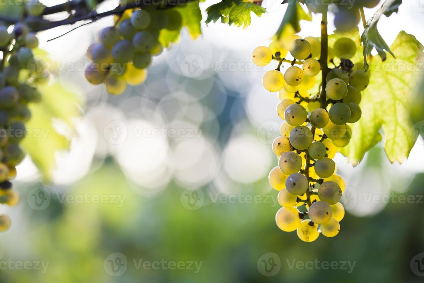 racimo de uva blanca en la vid foto