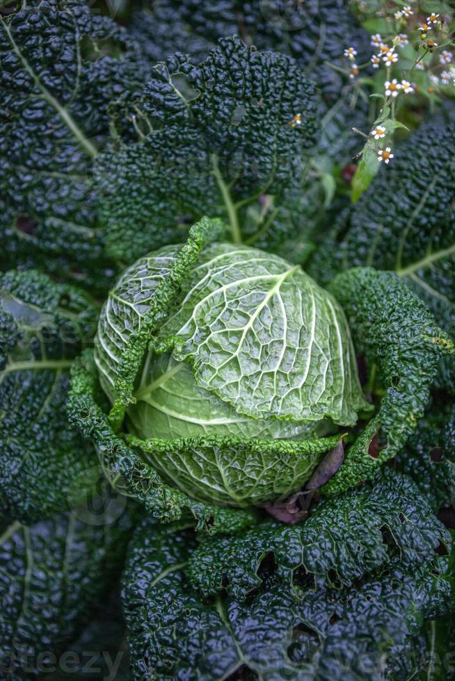 Savoy cabbage photo